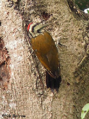 Fire-bellied Woodpecker