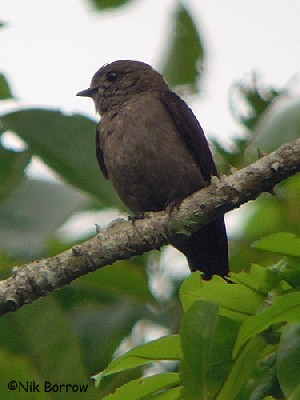 Ussher's Flycatcher