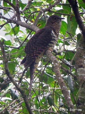 Barred Long-tailed Cuckoo