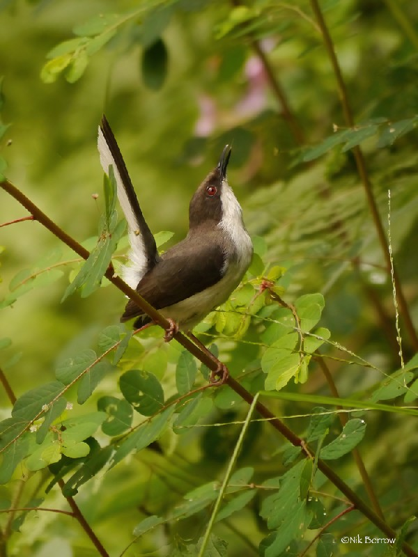 Buff-throated Apalis ssp kigezi