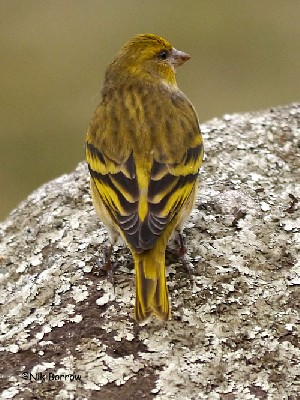 Yellow-crowned Canary Serinus flavivertex sassii