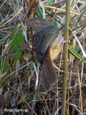 Grey-olive Greenbul