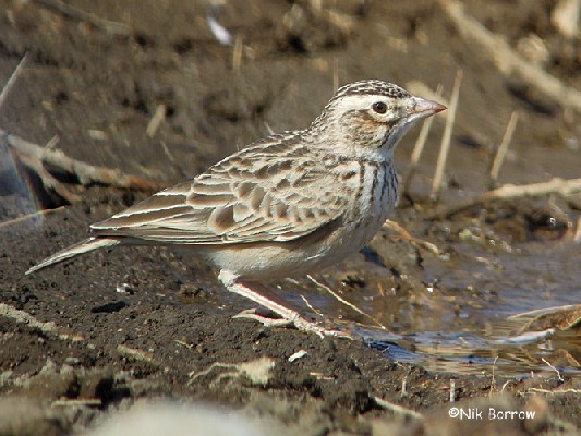 Often split as Athi Short-toed Lark C. athensis
