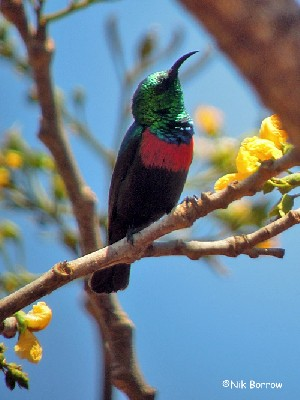 ssp hofmanni recently split as Hofmann's Sunbird