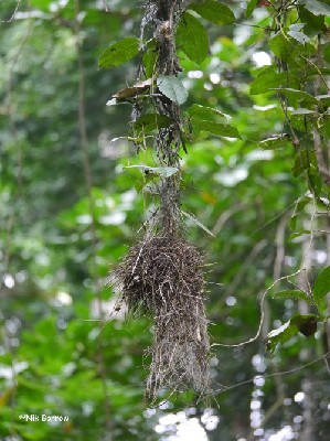Red-crowned Malimbe inactive nest
