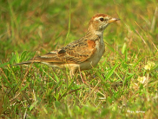 Red-capped Lark ssp saturatior