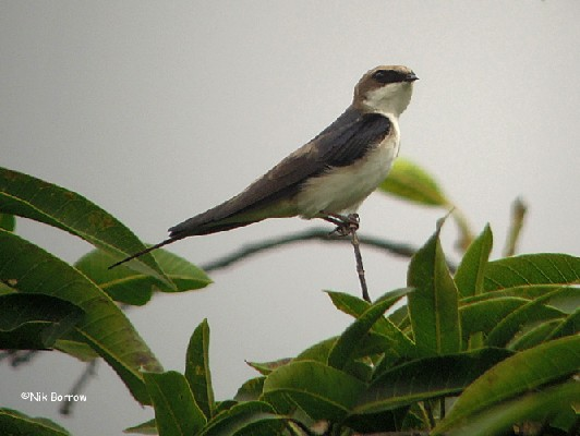Grey-rumped Swallow ssp melbina