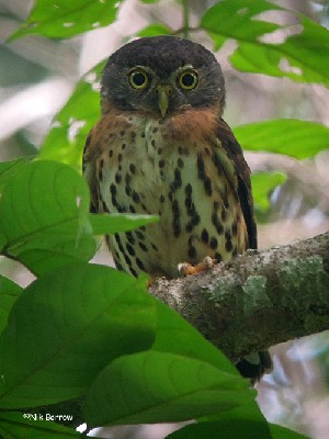 Red-chested Owlet ssp pycrafti