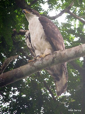 Cassin's Hawk Eagle