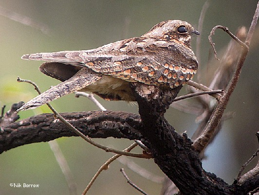 Fiery-necked Nightjar ssp shelleyi?