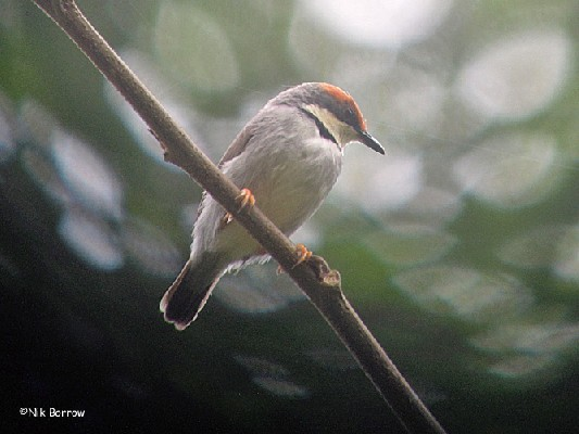 Rufous-crowned Eremomela nominate race