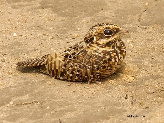 Swamp Nightjar nominate race