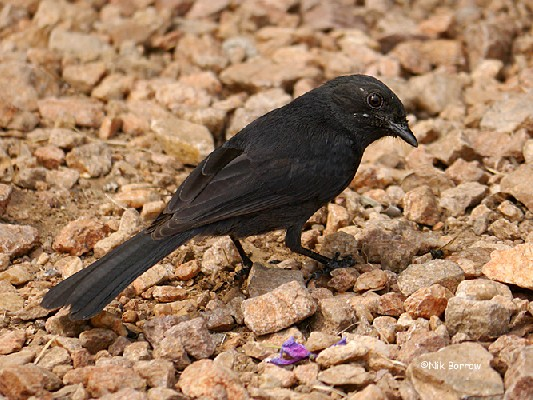 Northern Black Flycatcher ssp lugubris