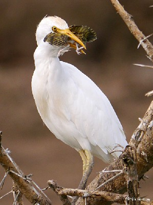 Cattle Egret eating a weaver