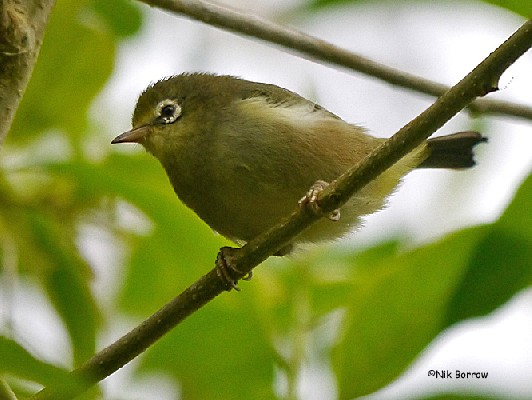 ssp feae sometimes split as Sao Tome White-eye