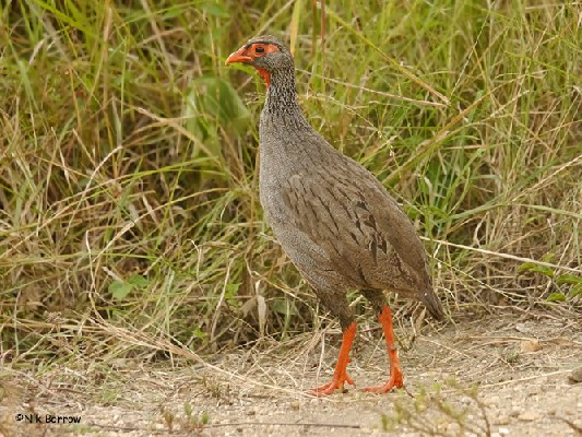 Red-necked Spurfowl ssp cranchii