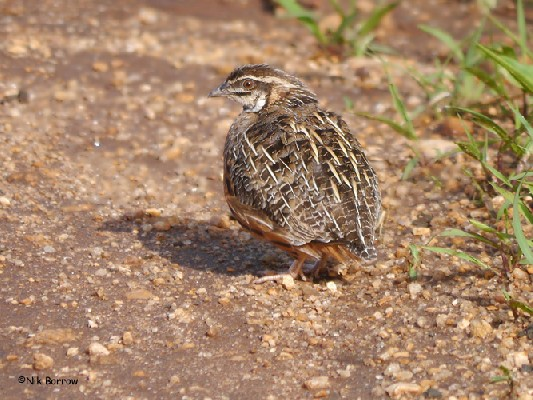 Harlequin Quail nominate race