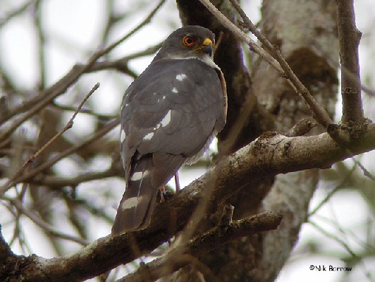 Little Sparrowhawk