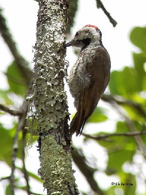 Stierling's Woodpecker