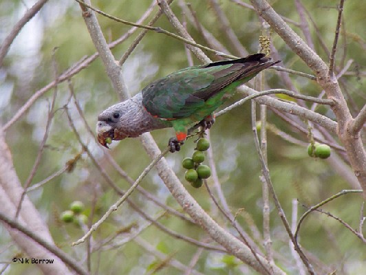 ssp suahelicus Grey-headed Parrot