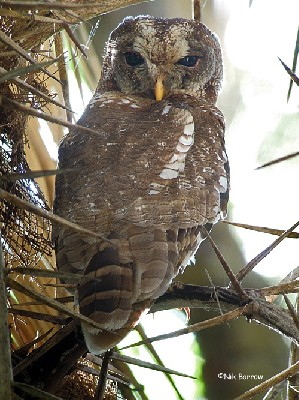 African Wood Owl nominate race