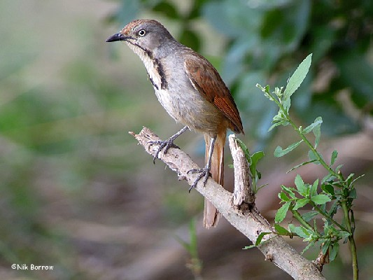 Collared Palm Thrush