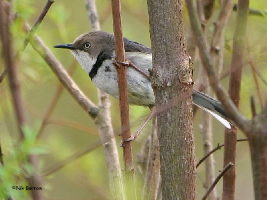 Bar-throated Apalis ssp. youngi