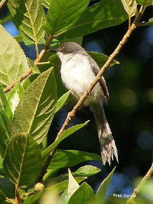 Black-headed Apalis ssp fuliginosa