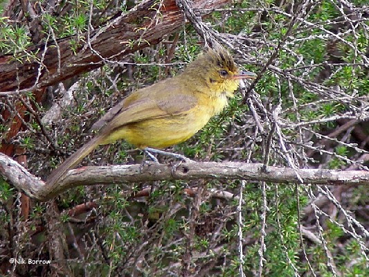 Mountain Yellow Warbler
