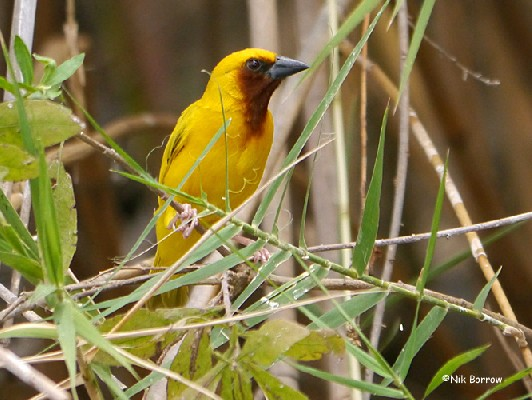 Southern Brown-throated Weaver nominate race