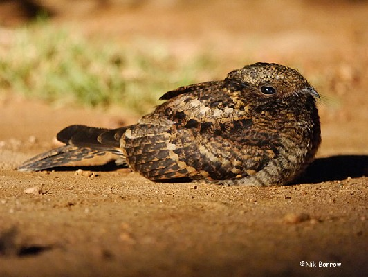 ssp guttifer sometimes treated as a separate species, Usambara Nightjar