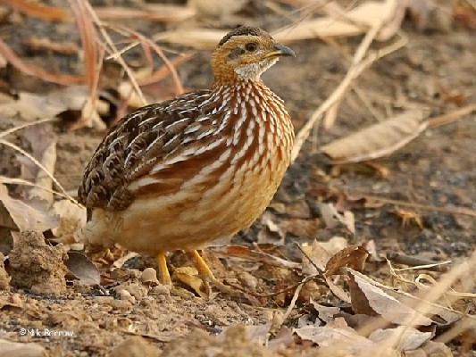 White-throated Francolin ssp buckleyi