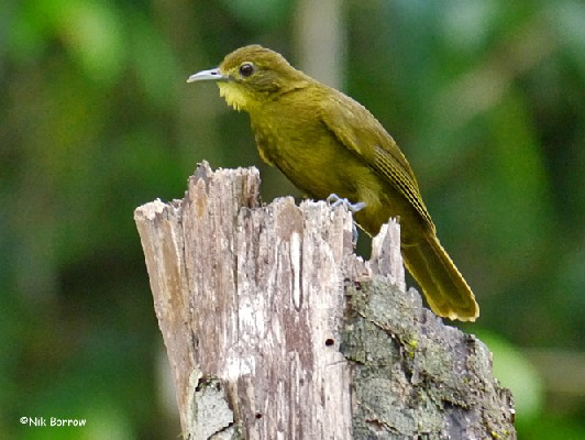 Yellow-bearded Greenbul