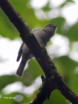 Chapin's Flycatcher