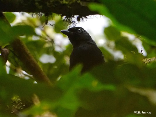 Willard's Sooty Boubou Laniarius willardi