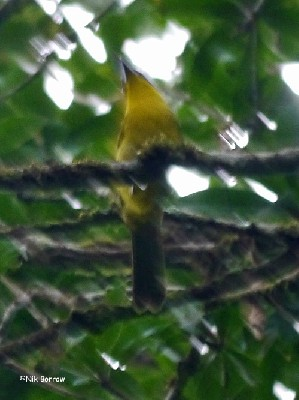 Uluguru Bush-shrike