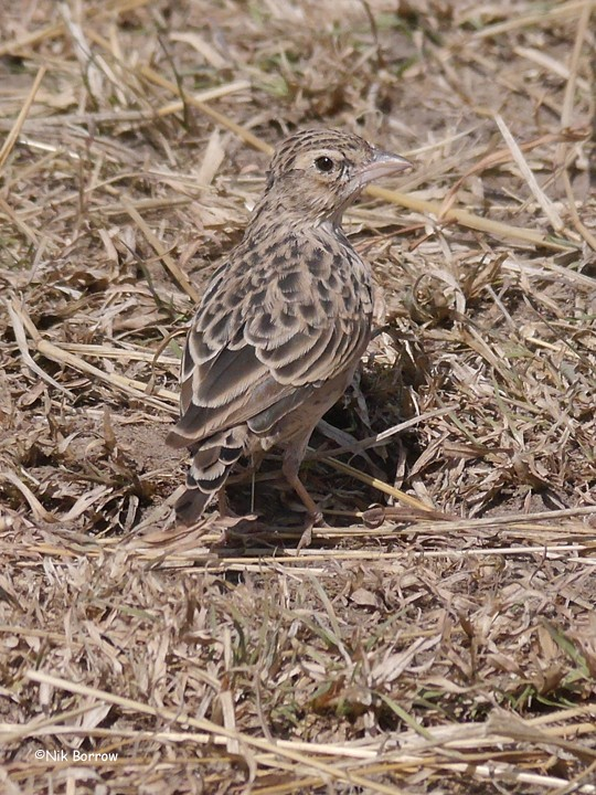 ssp athensis sometimes split as Athi Short-toed Lark