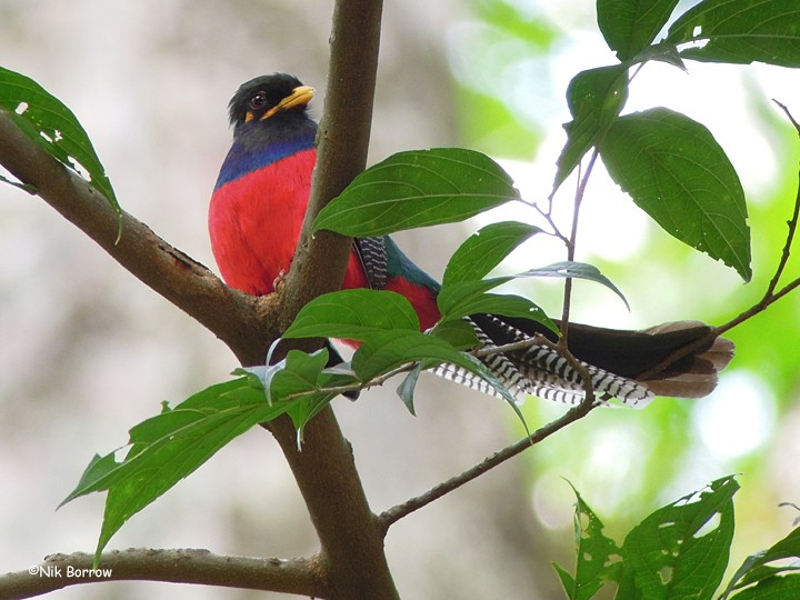Bar-tailed Trogon