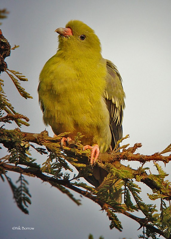 African Green Pigeon ssp. gibberifrons