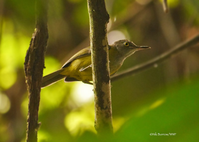Yellow Longbill nominate race