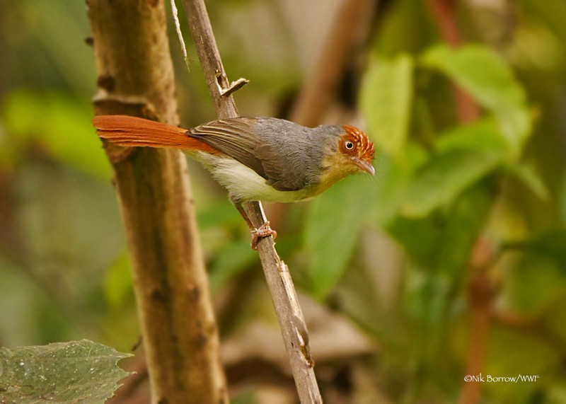 Chestnut-capped Flycatcher nominate race