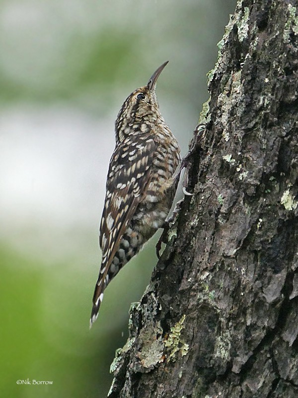 African Spotted Creeper ssp salvadori