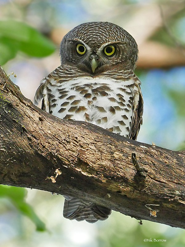 African Barred Owlet ssp ngamiense