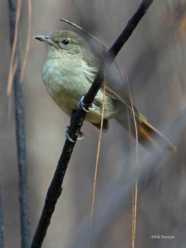 Placid Greenbul