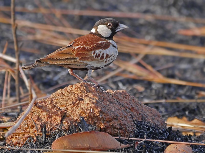 Chestnut-backed Sparrow Lark ssp melanocephalus