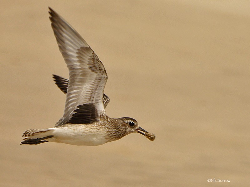 Grey Plover - nominate race