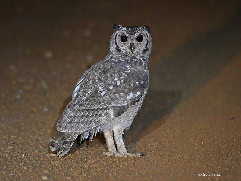 Greyish Eagle Owl catching insects on road at night