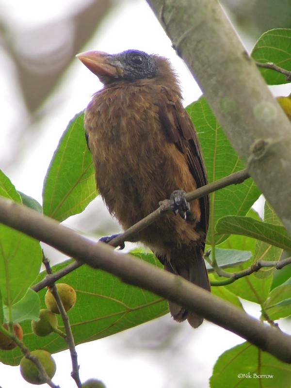 Naked-faced Barbet - nominate race