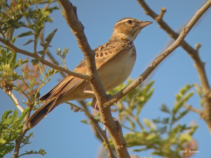Singing Bush Lark - ssp chadensis