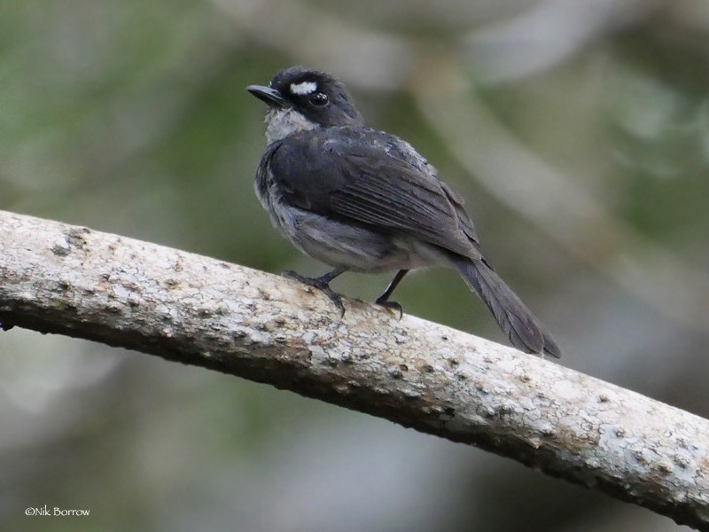 White-browed Forest-Flycatcher - nominate race